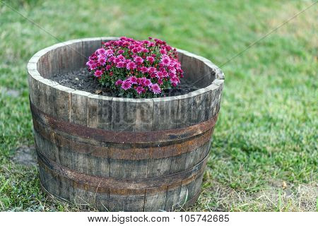 Purple flowers growing on a wine wood barrel