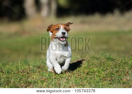 active happy jack russell terrier dog outdoors