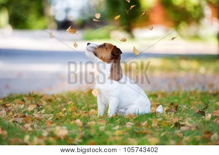 jack russell terrier dog outdoors in autumn