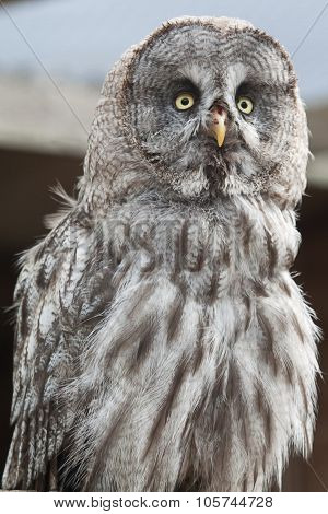 Wise Great Grey owl