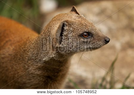 Red Mongoose