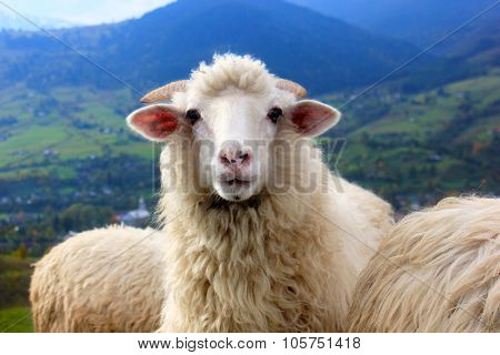 Sheep stares into the camera standing on mountain backdrop