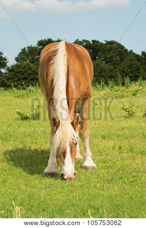Blonde Belgian draft horse grazing in summer pasture