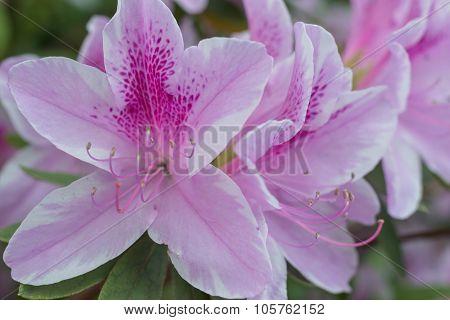 Macro Azalea Flower Blooming, Beautiful Spring.