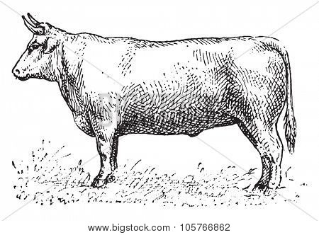 Ox, vintage engraved illustration. Dictionary of words and things - Larive and Fleury - 1895.