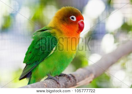 Beautiful Green Lovebird Parrot
