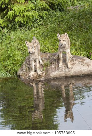 Wolf Puppy Reflection