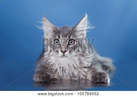Maine Coon Kitten Portrait