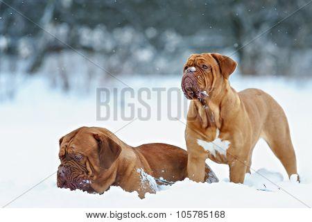 Dog Bordeaux dog