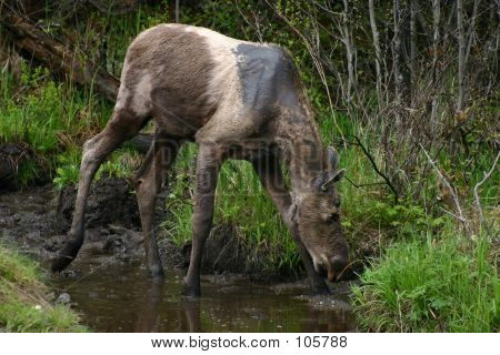 Bull Moose- Yearling