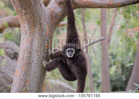 White Handed Gibbon (Hylobates lar)