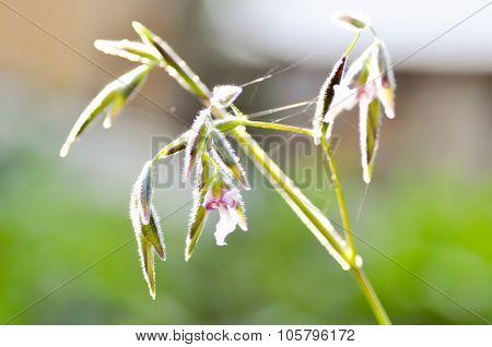 Thalla Geniculata L. Flower,flower