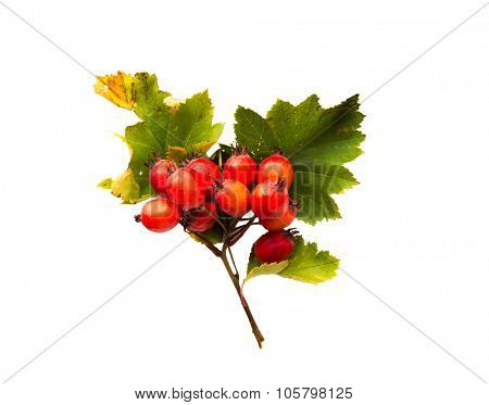 nature, season, autumn and botany concept - hawthorn bunch with red ripe berries