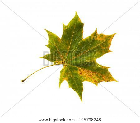 nature, season, autumn and botany concept - dry fallen maple leaf