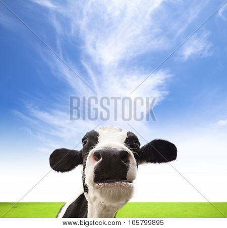Cows Grazing On  Green Field With Cloud Background