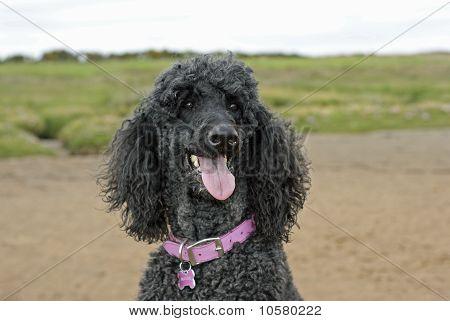 Black standard poodle