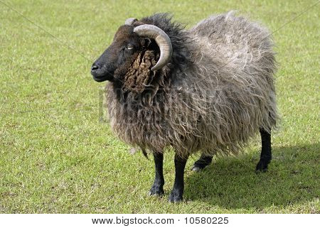 A woolly long horned ram