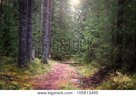The narrow path that goes deep into the spruce forest illuminated by the sun, selective focus