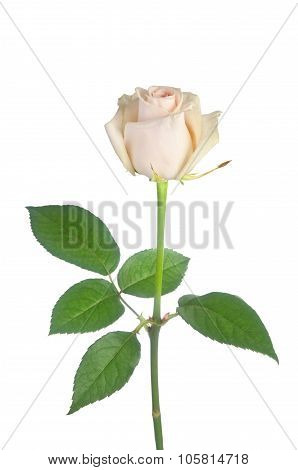 Beautiful Single White Rose On A White Background