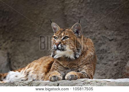 lynx lying on the stone