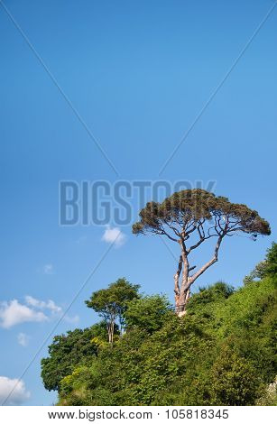 Pine Tree Against The Blue Sky