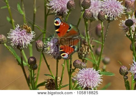 Butterfly Day Peacock Eye.