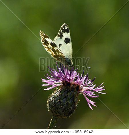 Butterfly Eats Pollen On A Flower.
