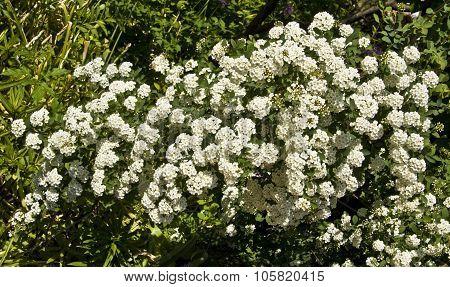 White Japanese Spirea