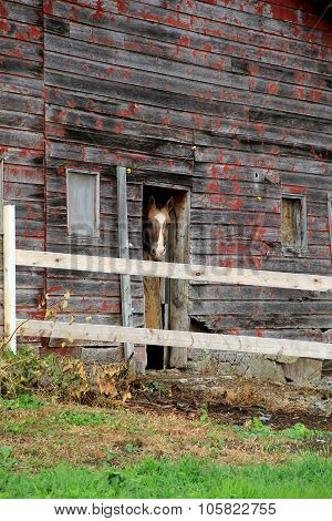 Beautiful horse with bright blue eyes standing in the open doorway of an old weathered red barn.