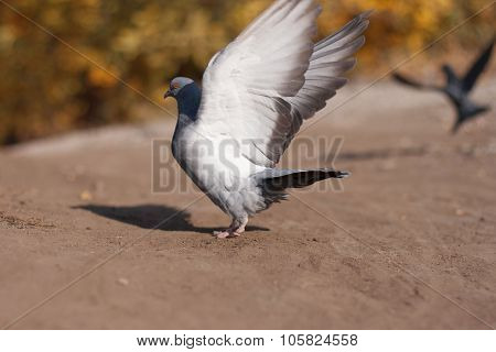 Grey Pigeon In The Summer Park