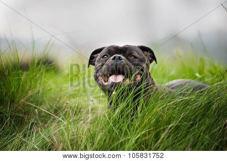 Close-up portrait of black staffordshire bull terrier lying