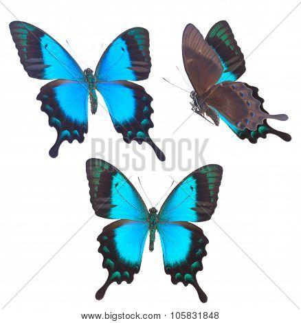 Sea Green Swallowtail butterfly