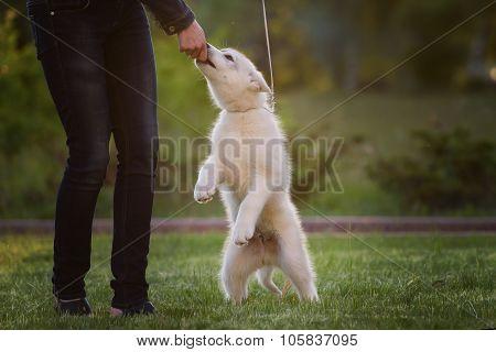 One Little cute puppy of Siberian husky
