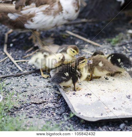 Group Of Little Ducks