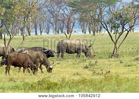 Black Rhinocero