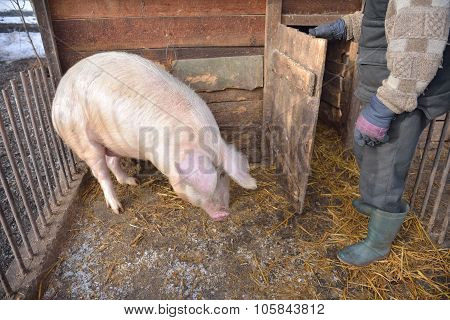 Man In The Cage Of A Pig, Wants To Feed Him. Rural Scene