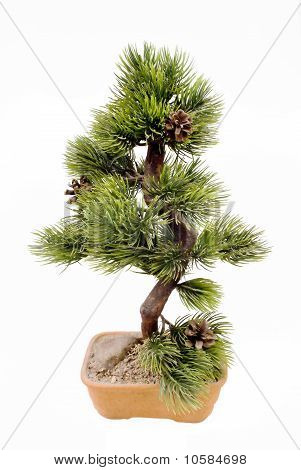 Dwarfish Pine Is Art Bonsai