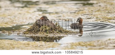 Little grebe sitting on its nest on a pond with another near by