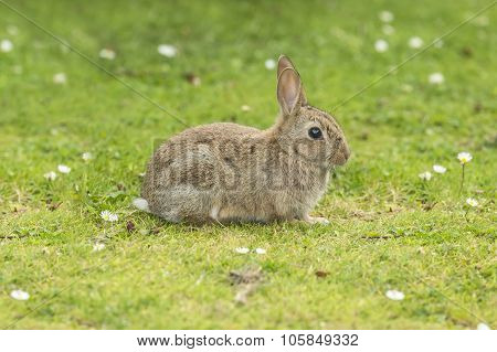 Grey Rabbit, Leporidae, juvenile, lying on the grass