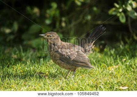 Blackbird Turdus merula on the grass close up and alert