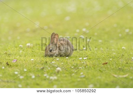 Rabbit, Leporidae, juvenile, lying on the grass eating