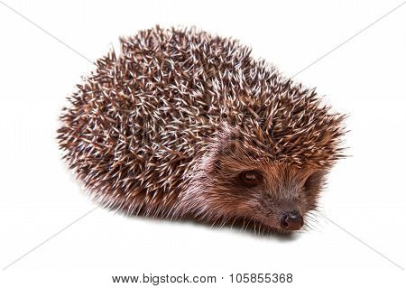 Cute Young Hedgehog - Isolated