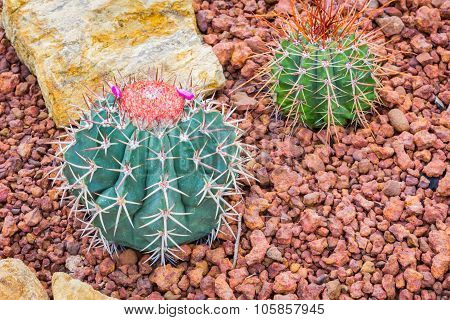Cactus - Melocactus Ernestii (cactaceae)
