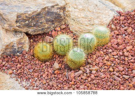 Cactus - Mammillaria Sp. (cactaceae)