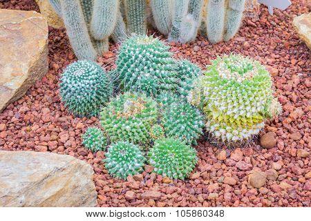 Cactus - Mammillaria Nejapensis (cactaceae)