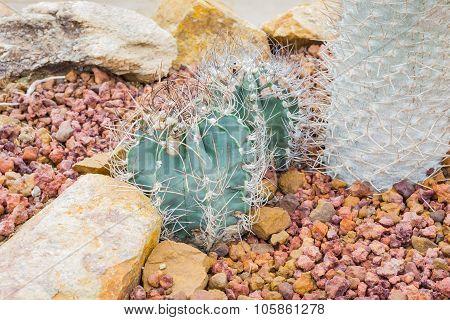 Cactus - Astrophytum Capricorne (cactaceae)