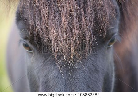 Icelandic Pony Gaze near Husavik, Iceland