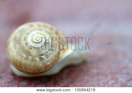 Small snail gliding, very short depth of focus. Latin name: Arianta arbustorum