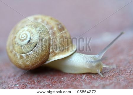 Small snail gliding