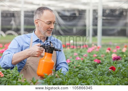 Experienced old florist is sprinkling plants at greenhouse